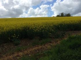 Mustard fields.