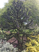 Monkey Puzzle Tree in the garden by St Mary's