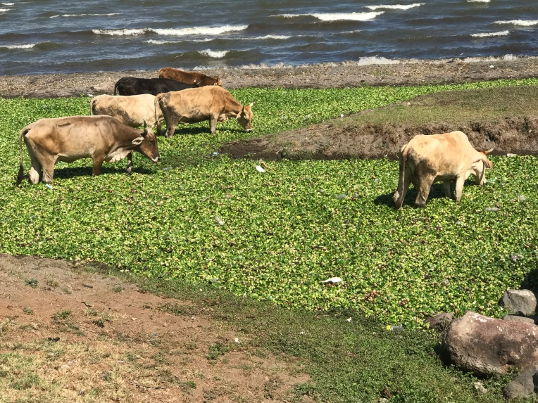 Apparently cows like water hyacinth