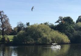 Swans landing.