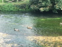 Ducks on the River Itchen.